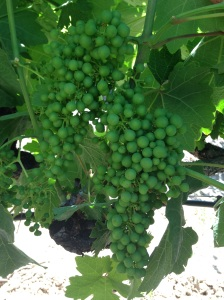 Grape pic for blog